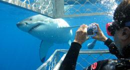 attr-sharkdiving